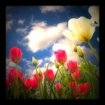 Tulips - Spring Bloom